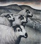 Seren Bell, Torddu, Welsh Mountain Badger-faced Sheep
